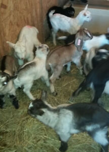 Bottle Baby Billy  Goats