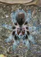 Mature Male Tarantulas Needed