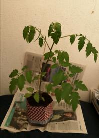 Tricolour Tomatoes Plant