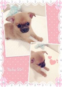 ❤ Tiny POMCHI Babies pomeranian x chihuahua ❤