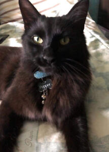 """Missing Cat. Long Black Fur and a Blue Collar. """"Pepper"""""""