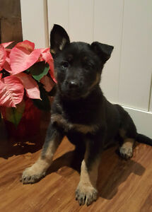 Purebred German Shepherd Puppies London Ontario image 3