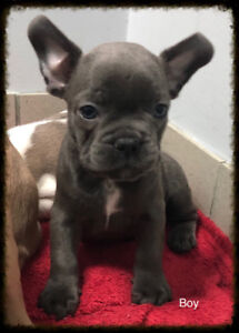 Smaller French bulldog pups BC Born - raised, we are not brokers