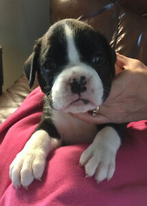 STUNNING 7/8 BOXER 1/8 LAB PUPPIES!