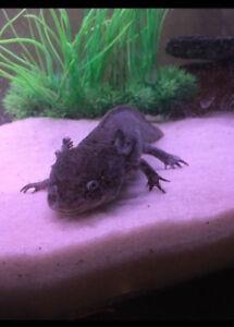 30 gallon Aquarium & Axolotl (all equipment + food)