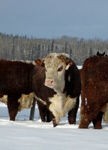 Polled Hereford Bulls