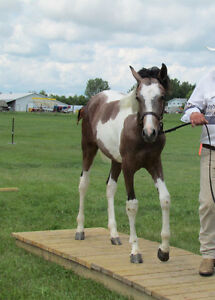 Awesome Registered tri-colored pinto 3/4 Arabian colt