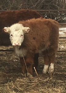 Heifer calf for saddle