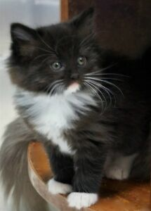 Beautiful Black and White Persian Kittens