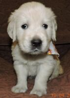 ENGLISH STYLE, C.K.C. REGISTERED GOLDEN RETRIEVER PUPPIES