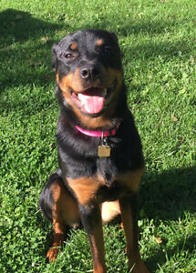 14 month old Female Rottweiler Well Trained Needs New Home