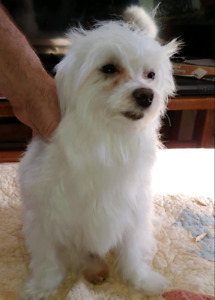 Beautiful Maltese 2 year old male