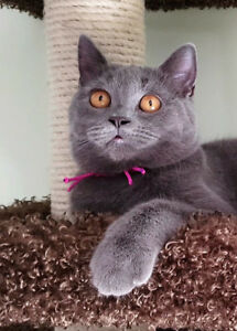 ❤️ British Shorthair Kitten ❤️ Sold