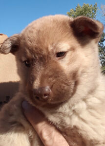Cute puppies ready for adoption 8 weeks old