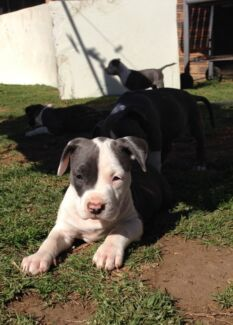Blue staffy pups St Andrews Campbelltown Area Preview