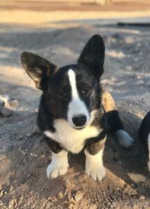 4 Cowboy Corgi Puppies and 2 full Corgi puppies