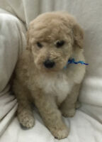 Standard Goldendoodle Male Puppies