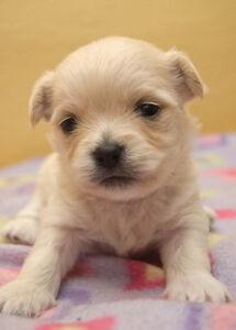 Teeny Tiny Pomeranian babies!!!!