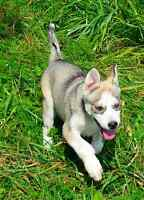 Golden Alaskan Husky pup-female with one blue eye and one gold e