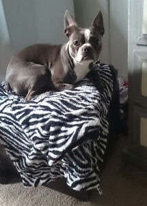 MISSING BOSTON TERRIER
