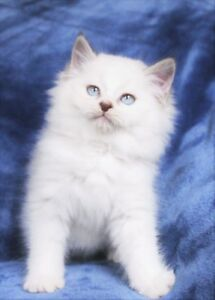 Beautiful Ragdoll MALE Kitten is Available for Adoption
