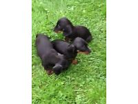 Dachshund mini smooth coat Black and Tan puppies. Ready now. 8 weeks old.