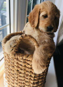 Goldendoodle | Kijiji in Ontario  - Buy, Sell & Save with Canada's
