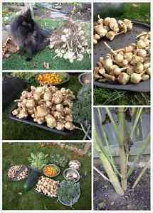 Sunchoke/洋姜 seeds (tubers) for sale (for planting)