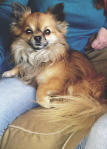 2 long Haired  chihuahua to good home.
