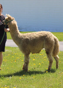 Alpaca male available, trade for hay