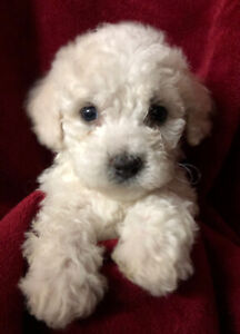 Poodle Cross Puppy Kijiji In Ontario Buy Sell Save