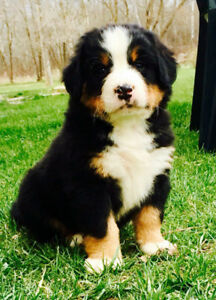 Pure Bred Bernese Mountain Dog Puppies