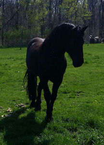Friesian Sport Horse Stallion standing at stud