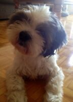 9 Year Old Shih Tzu/Lhasa Apso to Good Home