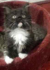 Beautiful  Himalayan - Tabby kittens