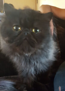 Looking for persian kittens?