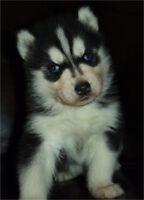 Stunning Blue Eyes Husky for sale