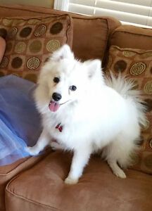Prince Needs a Forever Home - American Eskimo Toy Pup