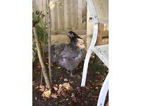 Blue Orpington chicken hen pol
