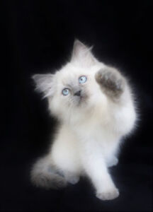 Blue Point Ragdoll Male Kitten for a good home