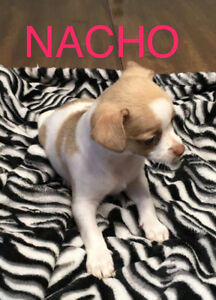Chihuahua puppy (Isabel very rare!), Apple-head, Male
