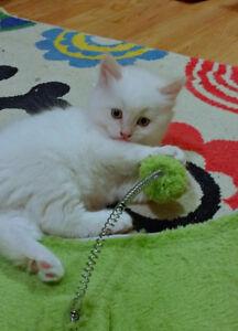 Persian/Himalayan  Flame point male kitten