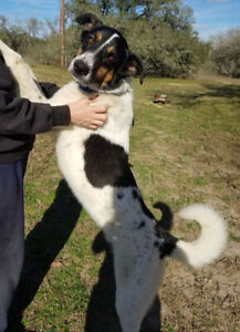 Roscony-4yr male border collie mix