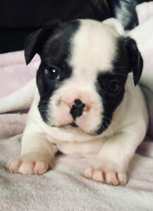 ❤️French Bulldog puppies❤️