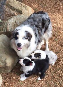 Aussie/Springer puppies