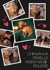 4 SUPER CHIOTS 2 CHIHUAHUA  male femelle  et 2 YORK-CHI  femelle