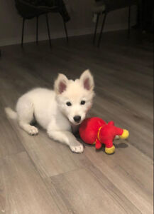 Siberian Husky looking for new home