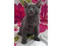 Russian blue kitten female