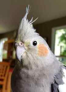 Need to rehome my female cocketiel
