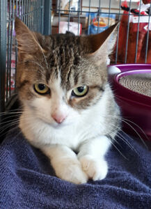Soleil - rescued brown & white tabby female for adoption